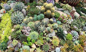 Vườn sen đá hơn 5.000 cây của chàng trai Đà Lạt
