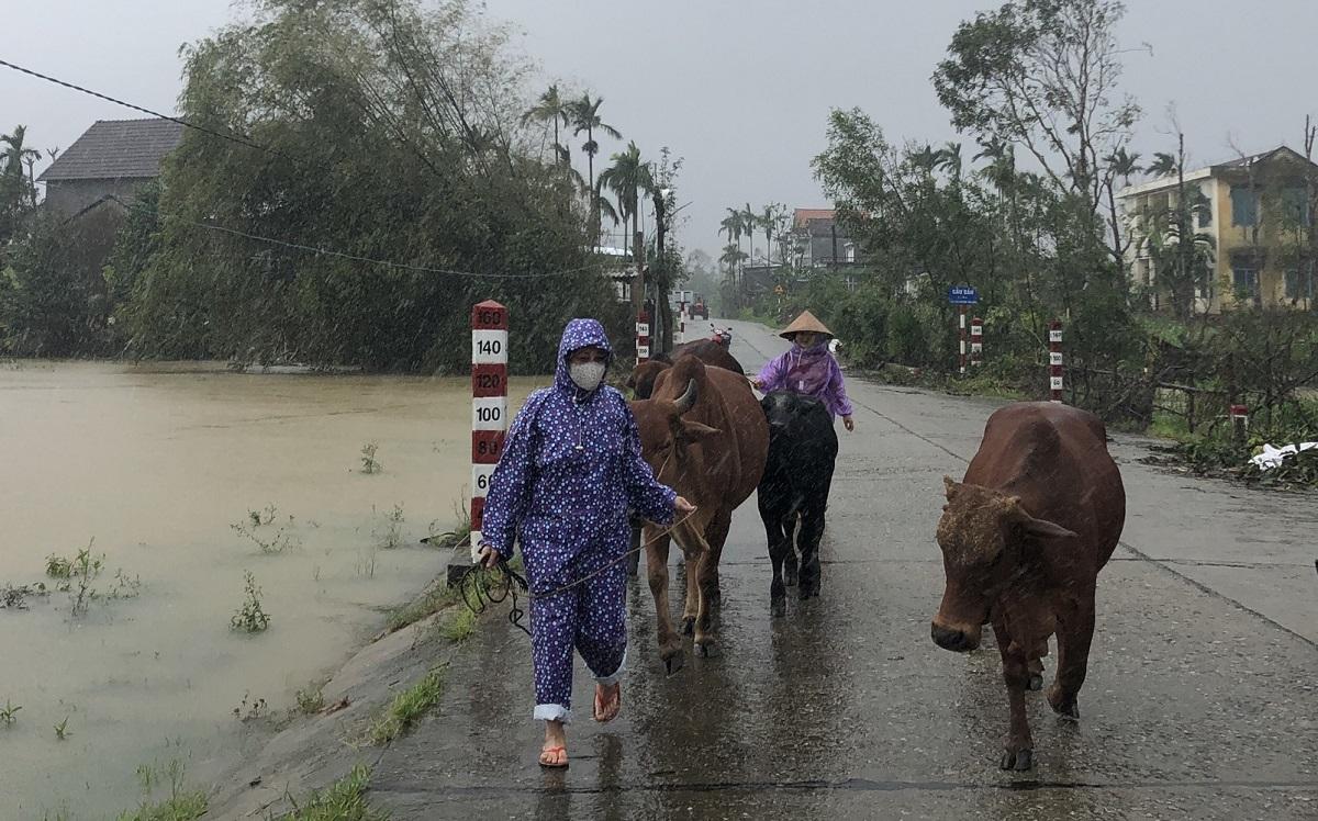 Chị Lê Thị Hương ở xã Hành Tín Đông, huyện Nghĩa Hành đưa đàn bò đến nơi cao hơn phòng lũ lên nhanh. Ảnh: Phạm Linh.