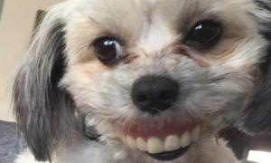 Chó cưng tươi như hoa nhờ đeo răng giả