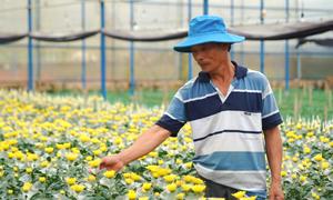 Nhà vườn Đà Lạt lo vụ hoa Tết bấp bênh