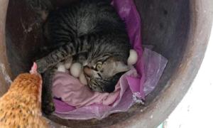 Mèo giành ổ của gà mẹ
