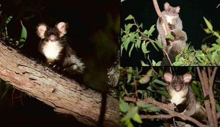 P. volans (trái), P. minor (bên phải, phía trên) và P. armillatus. Ảnh: Denise McGregor và Jasmine Vink.