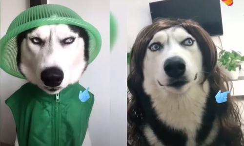 Dê liên tục trêu chọc chó Husky - 3