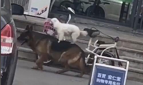 Dê liên tục trêu chọc chó Husky - 2