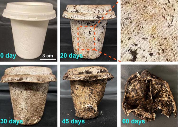 Quá trình phân hủy của một chiếc cốc làm từ bã mía và sợi tre. Ảnh: Hongli Zhu.