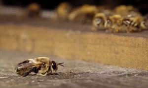 Ong mật đực bị đuổi khỏi tổ sau mùa giao phối