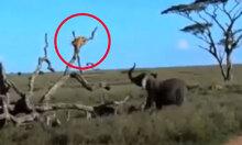 Sư tử ôm cây lánh nạn vì bị voi truy đuổi