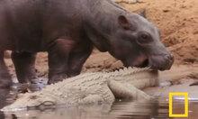 Cá sấu chịu trận khi bị hà mã cắn đuôi