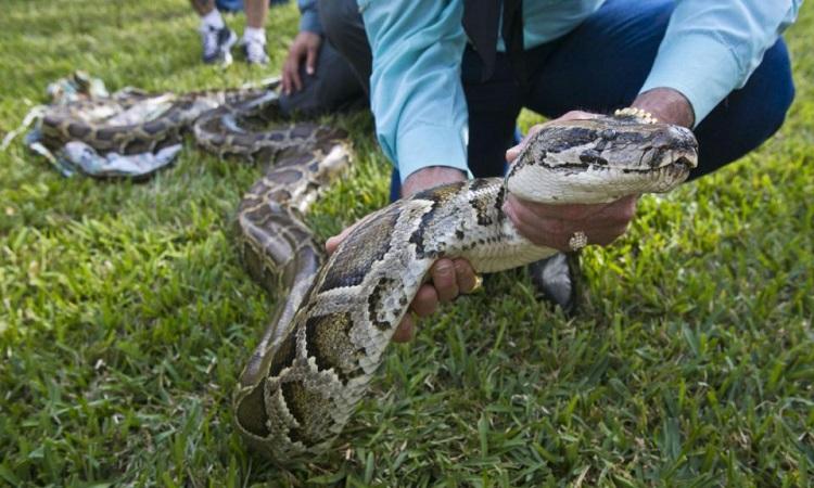 Trăn Miến Điện là động vật xâm hại ở Florida. Ảnh: Đại học Florida.