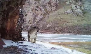 Đoạn phim hiếm ghi lại tiếng gầm của báo tuyết hoang dã