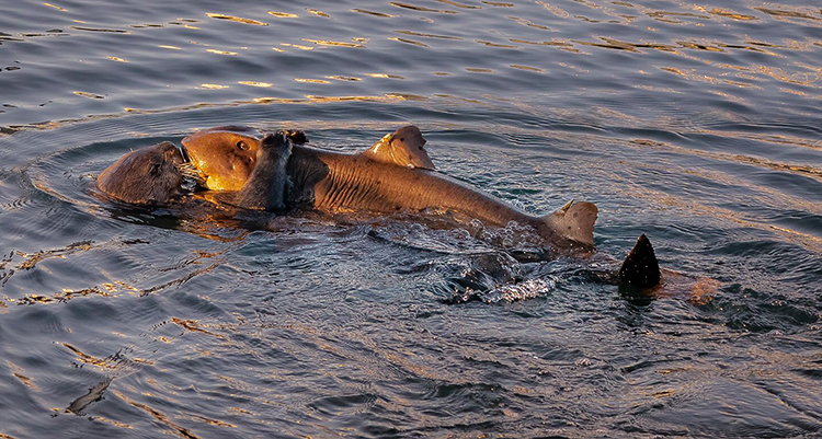Rái cá tấn công cá mập sừng ở vịnh Morro. Ảnh: Don Henderson.