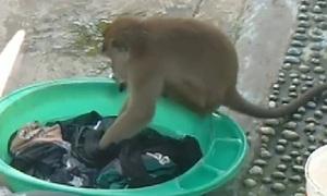 Khỉ hoang giặt đồ giúp chủ nhà