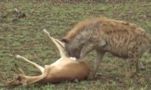 Linh dương giả chết đánh lừa linh cẩu