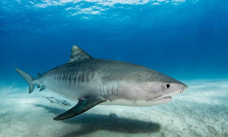 Cá mập hổ cắn một nhà khoa học trong đoàn nghiên cứu. Ảnh: Newsweek.