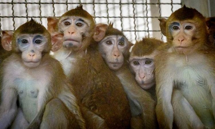 Các nhà nghiên cứu sử dụng khỉ đuôi dài để tiến hành thí nghiệm chỉnh sửa gene CCR5. Ảnh: AFP.