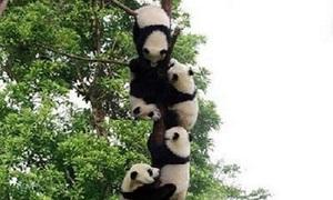 Có bao nhiêu gấu trúc trên cây?