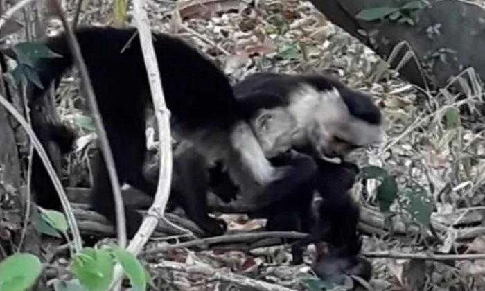 Khỉ cái đầu đàn và con đực nhỏ tuổi tranh giành xác khỉ non. Ảnh: N. Ferrero/M. Nishikawa.