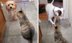 Chó nhỏ tìm viện binh khi bị mèo bắt nạt