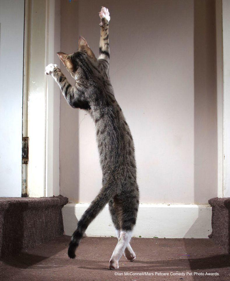 The Dancing Cat (Chú mèo nhảy múa) của Iain Mcconnell.
