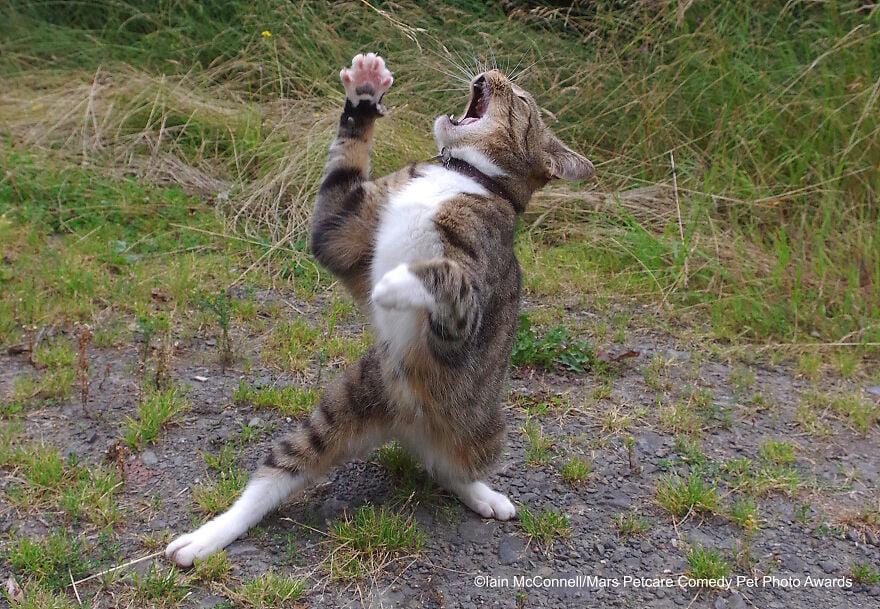 Over Dramatic Cat (Chú mèo diễn sâu) của Iain Mcconnell.