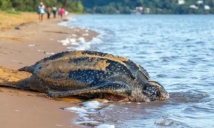 Một cá thể rùa da trưởng thành bò lên bờ biển đẻ trứng. Ảnh: AFP.