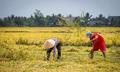 Một tháng lương công nhân bằng tiền lời cả mùa lúa