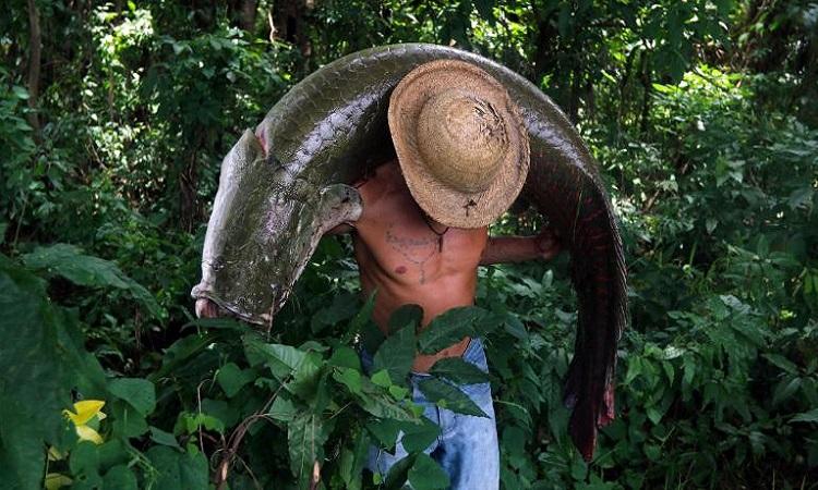 Cá hải tượng long là loài cá lớn nhất ở sông Amazon. Ảnh: AFP.
