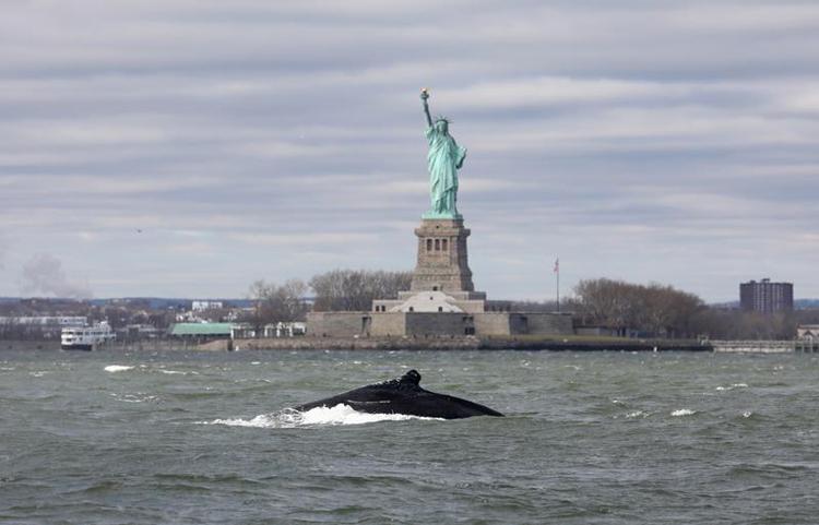 Cá voi lưng gù NYC0089 bơi trên sông Hudson. Ảnh: Rom NYC Photographer.