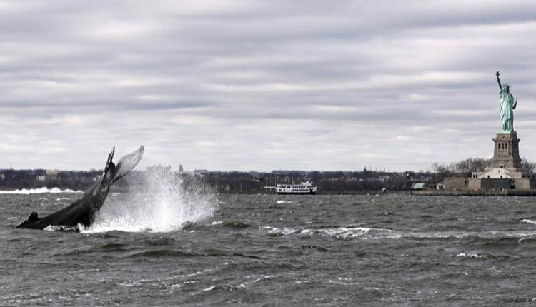 Cá voi lưng gù sẽ gặp nhiều nguy hiểm nếu nán lại lâu trong cảng. Ảnh: Rom NYC Photographer.