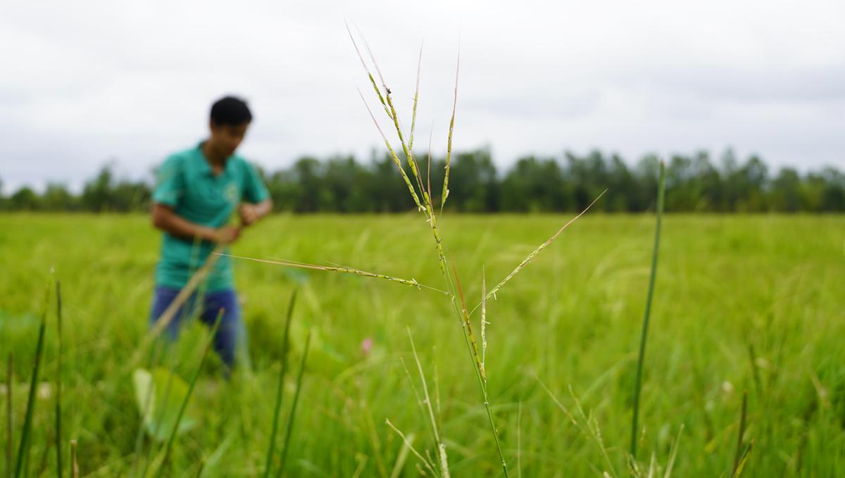 Nhân viên Khu bảo tồn Láng Sen chống xuồng kiểm tra mực nước tại cánh đồng lúa ma 30 ha đang mùa trổ bông giữa tháng 11. Ảnh: Hoàng Nam