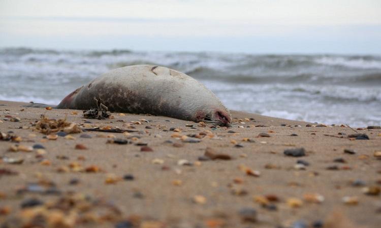 Xác một con hải cẩu Caspi trên bãi biển. Ảnh: TASS.