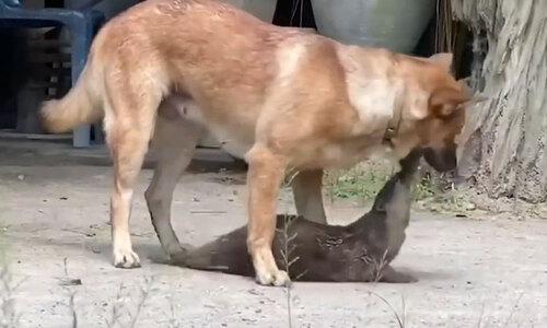 Chó Pit bull tưởng bản thân là mèo - 2