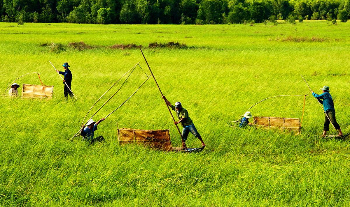 Người dân tham gia phục dựng mô hình chống xuồng thu hoạch lúa ma tại tiểu khu A1, năm 2012. Ảnh: Huỳnh Thanh Phong