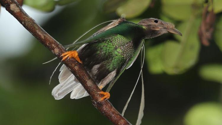 Loài chim thiên đường Bidadari cũng có những chiếc lông dài ở vai. Ảnh: Cagan Hakki Sekercioglu.