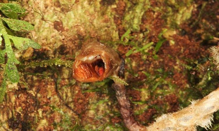 Cây phong lan Gastrodia agnicellus. Ảnh: Rick Burian.