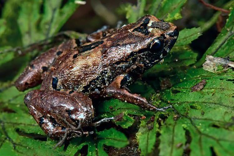 Loài ếch tí hon chỉ dài 10 mm mới được phát hiện tại thung lũng Zongo. Ảnh: CI.