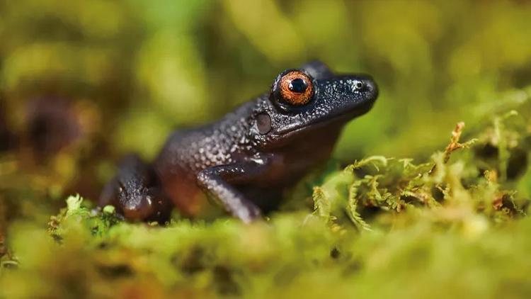 Ếch mắt quỷ Oreobates zongoensis được tái phát hiện sau 20 năm. Ảnh: CI.