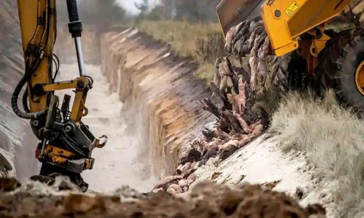 Một bãi chôn lấp chồn nâu tại khu vực quân sự gần thành phố Holstebro. Ảnh: Reuters.