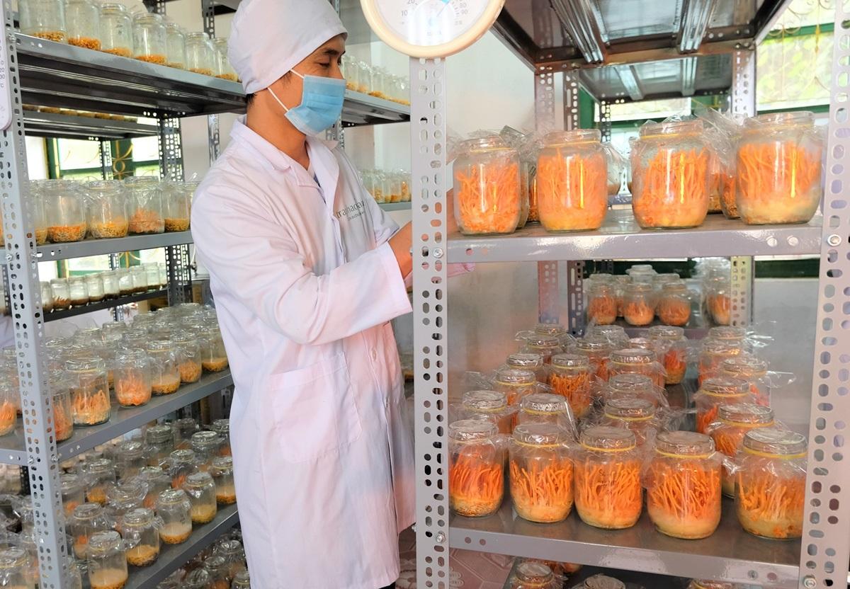 Nấm đông trùng hạ thảo được nuôi trồng trong môi trường bán tự nhiên ở Sa Pa, Lào Cai. Ảnh: Nhóm nghiên cứu.