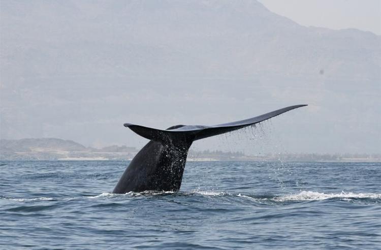 Một con cá voi xanh được phát hiện gần bờ biển Arab của Oman. Ảnh: Robert Baldwin.