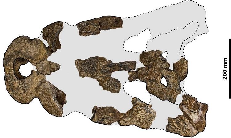Hộp sọ hóa thạch của Paludirex vincenti. Ảnh: Jorgo Ristevski.