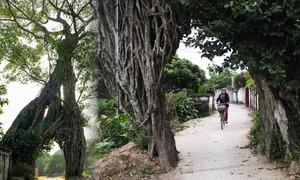 Cây đa 500 tuổi uốn hình cổng làng