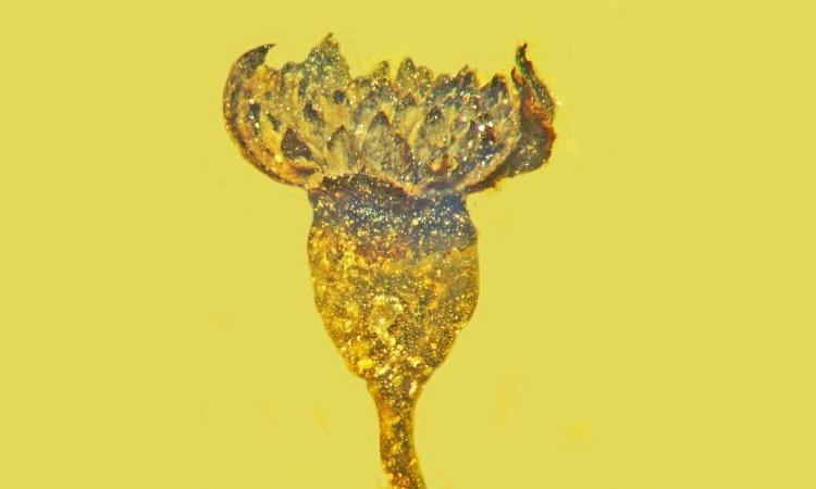 Cây hoa Valviloculus pleristaminis có nhiều nhị dù kích thước nhỏ. Ảnh: OSU.