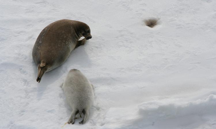 Hải cẩu Caspi, loài vật đặc hữu của Biển Caspi sẽ bị đe dọa khi băng giảm do nhiệt độ tăng. Ảnh: Đại học Utrecht.