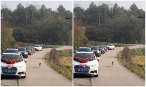 Chó tiễn cô dâu 10 km về nhà chồng