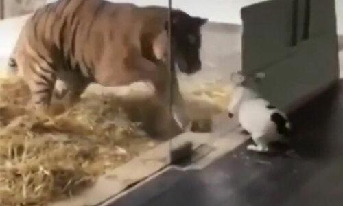 Cún con đuổi ba sư tử, độc chiếm bữa ăn - 2