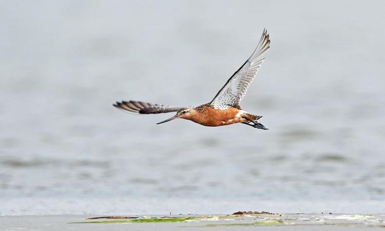 Chim choắt mỏ thẳng đuôi vằn lập kỷ lục về chuyến bay liên tục dài nhất. Ảnh: Shutterstock.