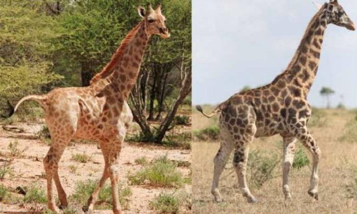 Hươu cao cổ lùn ở Namibia và Uganda. Ảnh: Michael B Brown.