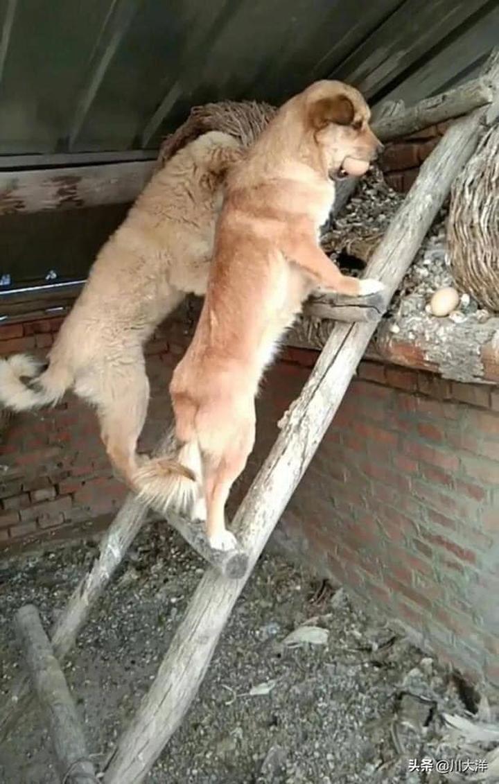Chó mẹ cùng con trèo thang trộm trứng gà.
