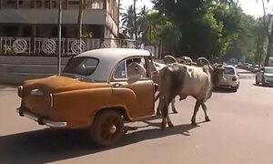 Lamborghini phiên bản nửa bò, nửa xe